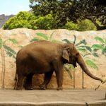 Uwiązany słoń