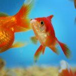 Bajka o złotej rybce